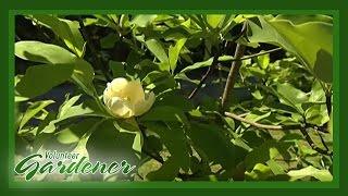 Magnolia Varieties | Volunteer Gardener