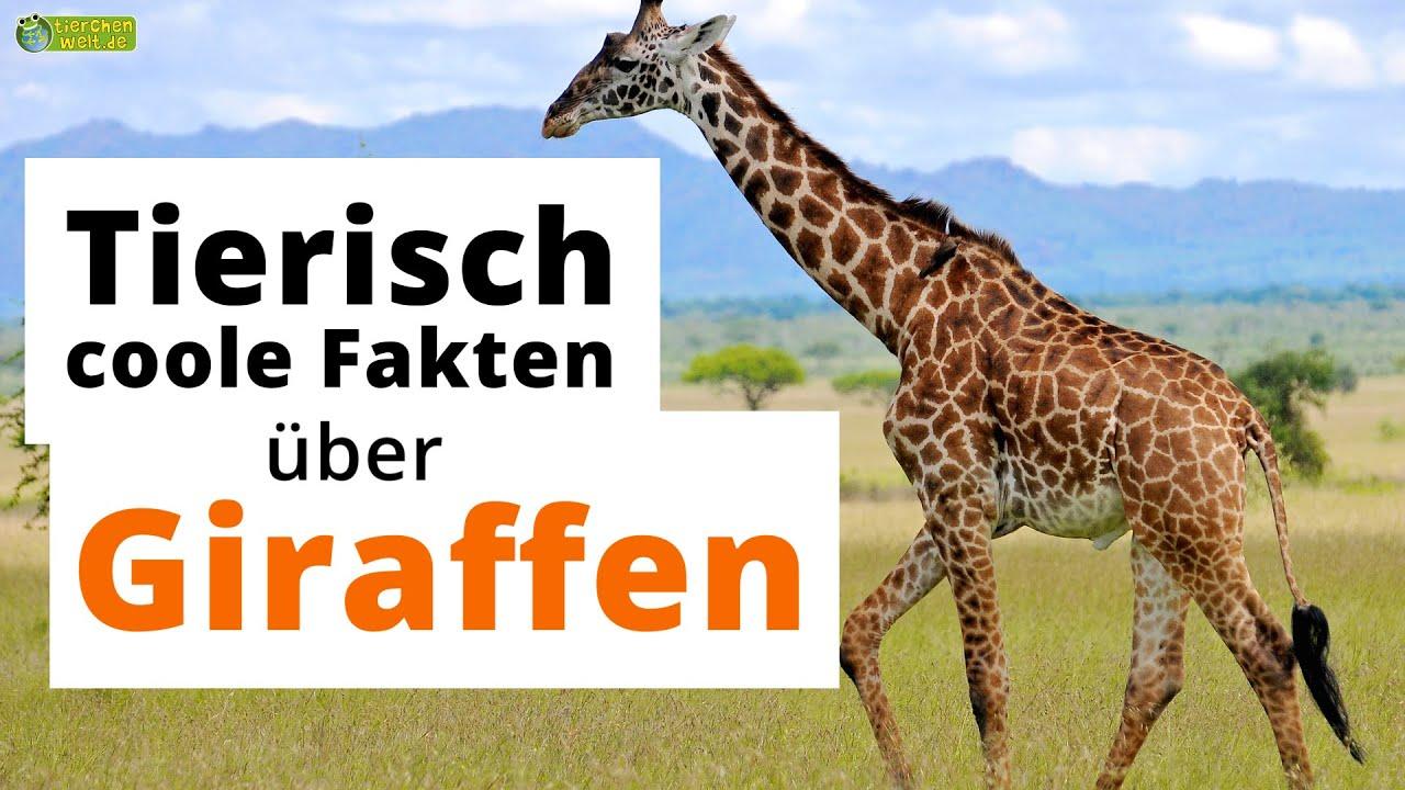 19 Tierisch Coole Steckbrief Fakten Uber Giraffen Doku Wissen Fur Kinder Youtube