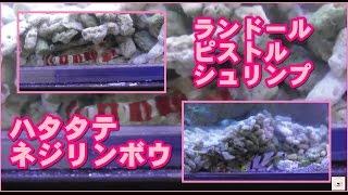 【海水水槽】ランドールピストルシュリンプ×ハタタテネジリンボウ【共生】