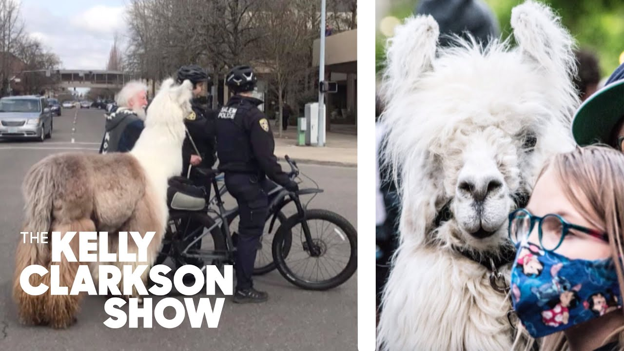 Incredibly Social Llama Attends Political Protests And Keeps The Peace