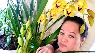 Orquideas Cymbidiums Atención Con Los Cuidados