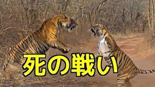 【野生動物の戦い】トラVSトラ・命を賭けた戦い!敗者は捕食される運命...