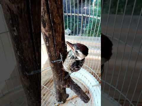 Burung pelatuk jawa gacor