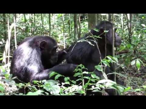 Chimp trekking in Kibale National Park, Uganda