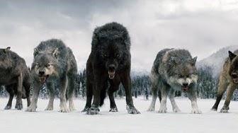 Twilight Wolves - Superhero