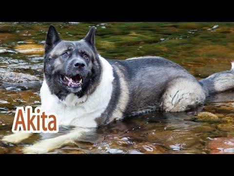 Akita Breed