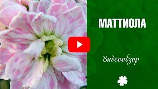 видео Левкой или Маттиола