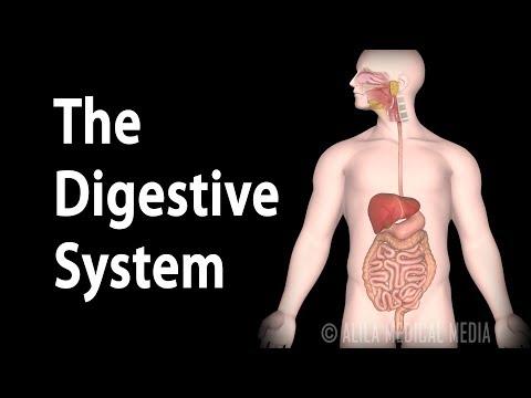 Physiology Basics: the Digestive System, Animation