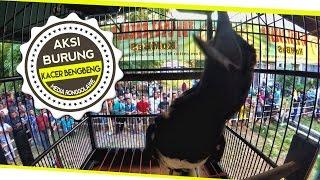 SUARA BURUNG : Aksi Panggung Kacer BengBeng Gacor Juara Nasional Milik Agung Aji Batam