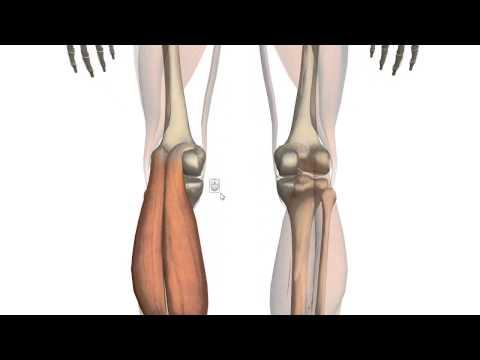 Икроножная мышца. Анатомия