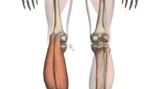 Икроножная мышца. Анатомия(Правообладатель видео школа массажа