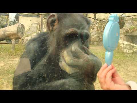 Reacción de mono al mirarse en un espejo en zoo.