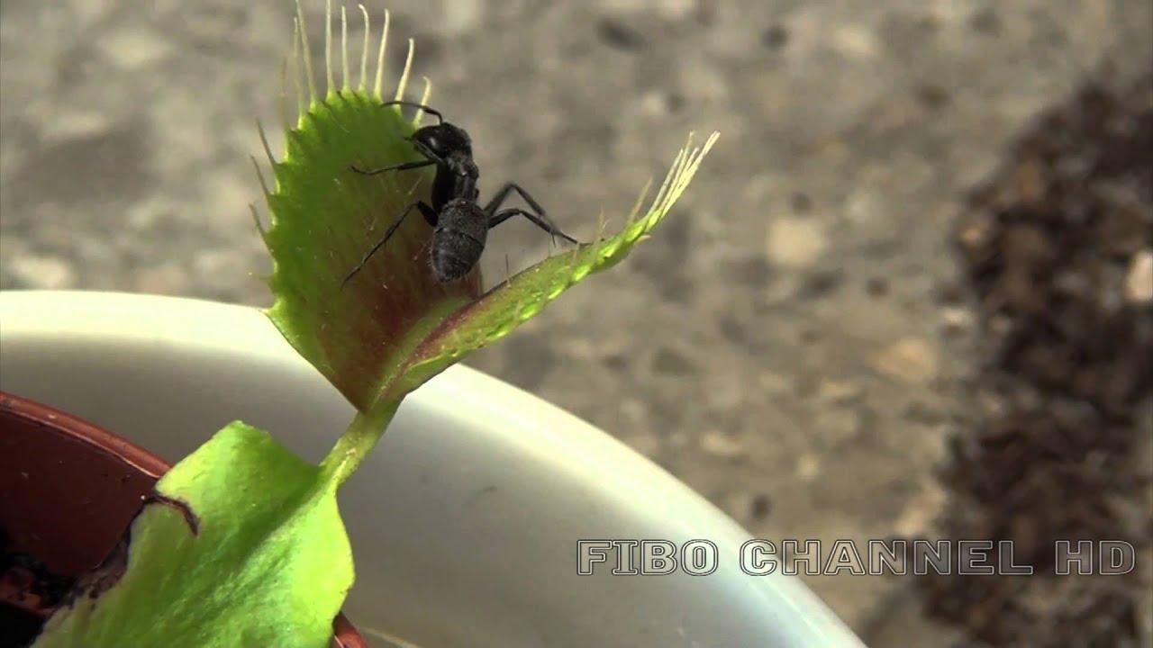 Pianta carnivora dionaea muscipula 2 video youtube for Pianta carnivora dionea
