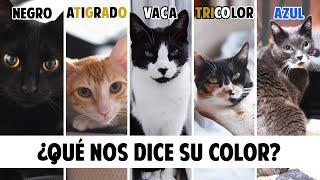 Conoce mejor a tu GATO según el COLOR DE SU PELO | Gatunalidad y curiosidades felinas