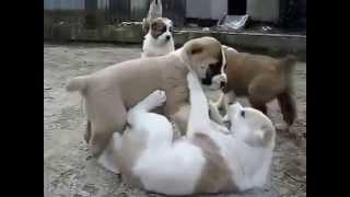 Туркменский Алабай щенки Alabay(, 2015-10-13T15:28:07.000Z)