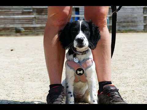 Annie - 15 Week Old Springer Spaniel Puppy - 2 Weeks Intensive Training Course