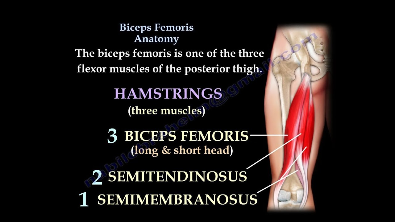 medium resolution of biceps femoris anatomy hamstrings everything you need to know dr nabil ebraheim youtube