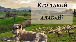 Кто такой алабай?!