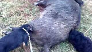 Jagd Terrier & Giant Schnauzer Wild Boar Hunting Romania
