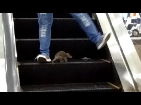 Rat on Mall Escalator Freaks Out Shoppers