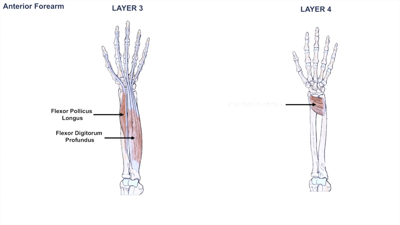 Anatomy of the Forearm - Muscles and Tendons - Lesson 1 - YouTube