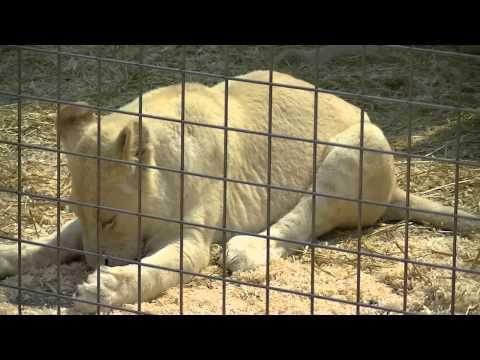 Lionnes Blanche Du Zoo Du Cirque Pinder Mercredi 26 Juin 2013