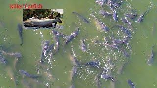 Killer Catfish 50+ Pound  Each From 100 FT Away