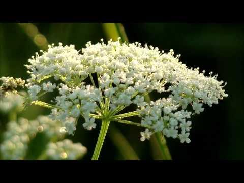 Анис трава лечебные свойства » Ваш доктор Айболит