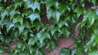Виноград девичий триострённый.  Как вырастить из семян?