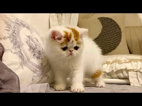 Exotic Shorthair Kittens Will Refresh Your Day