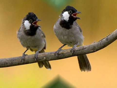 Magnificent Harmony by an Iraqi Bulbul for Relaxation