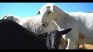 Homestead Sheep - Farm to Fork