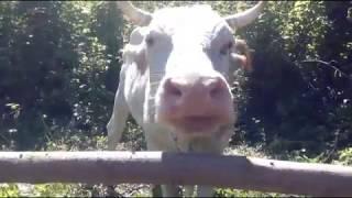 Загон для коров)) навес для летней дойки)) как дою коров летом