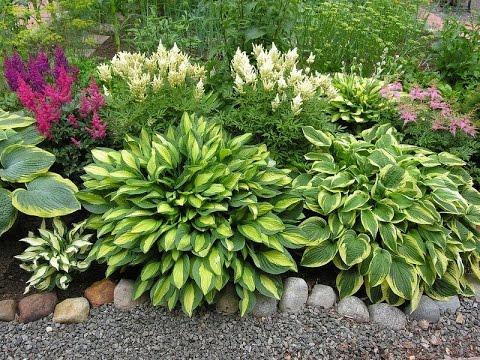 Астильба  сочетание с летними цветами при посадке.
