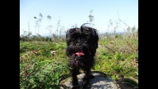 Our Affenpinscher Puppy, exploring Healey Nab Woods