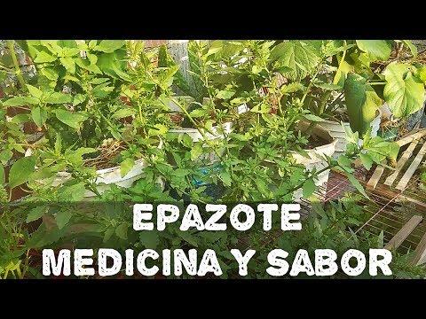 Epazote Medicina Y Sabor(AGRICULTURA ORGÁNICA)