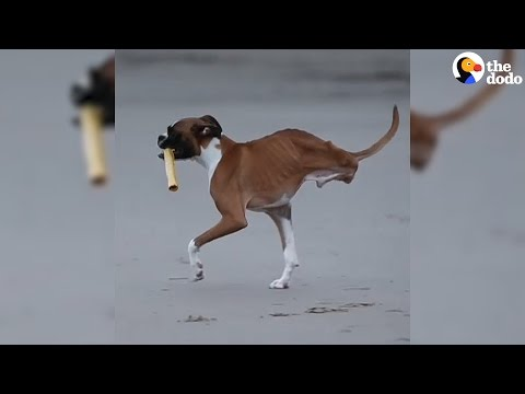 Dog Who Lost His Back Legs Refuses To Stop Playing | The Dodo