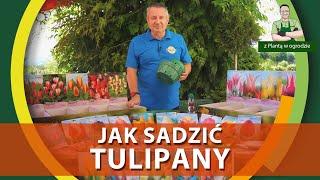 Jak sadzić tulipany - Z PLANTĄ W OGRODZIE