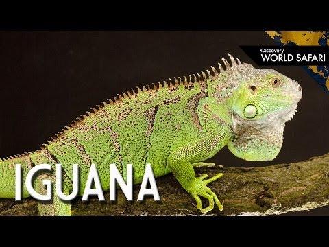 6 Insane Iguana Facts