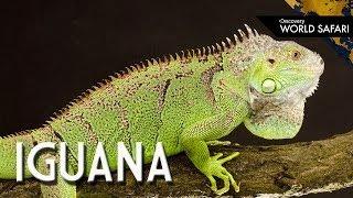 Video 6 Insane Iguana Facts download MP3, 3GP, MP4, WEBM, AVI, FLV September 2017