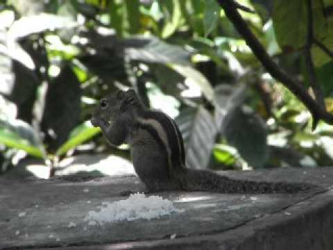 Sri Lankan Squirrel ( Lena)