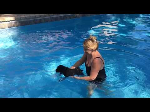 Swimming Giant Schnauzers Puppies
