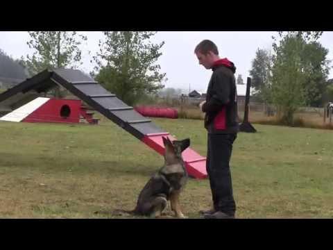 6 month old German Shepherd training at Kraftwerk K9