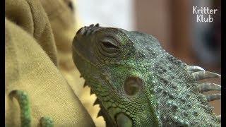 Iguana And Hamster Went Missing Inside The House?!   Kritter Klub