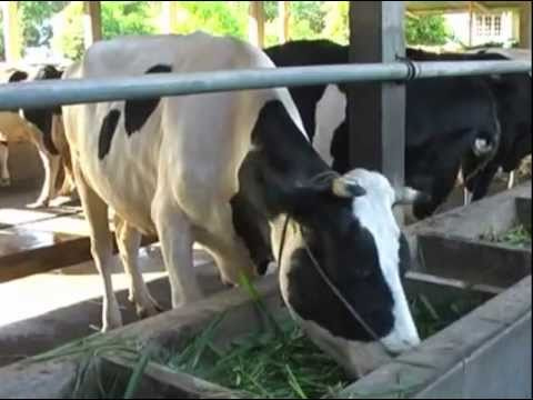 Manajemen ternak sapi perah #1