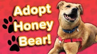Adopt Honey Bear! // Shepherd Mix // Adoptable Featurette