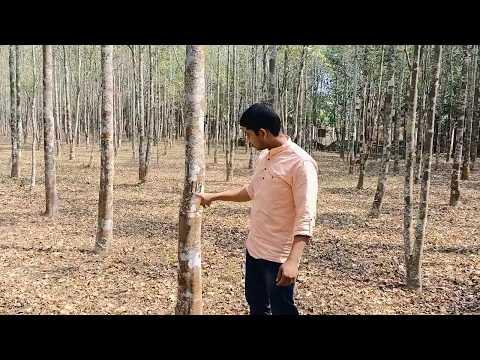 Agarwood Plantations Farming. Agarwood Assam plantations. Agar Oudh tree planting farm C-09678757461