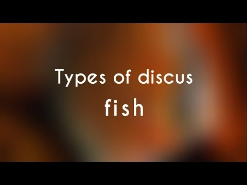 Types of Discus Fish streaming vf