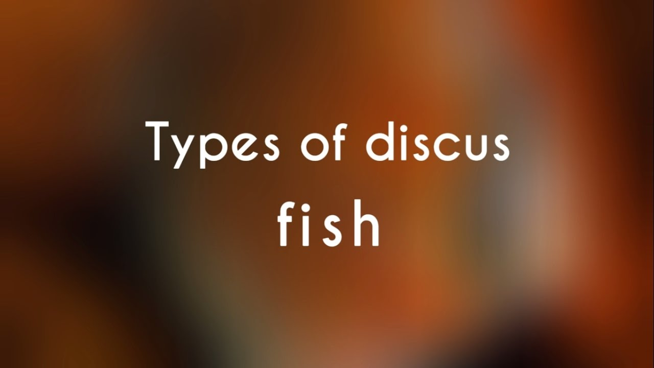 Types of discus fish youtube for Discus fish types