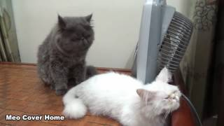 Cats Mating for the first time  Cats on heat  How Cats mate